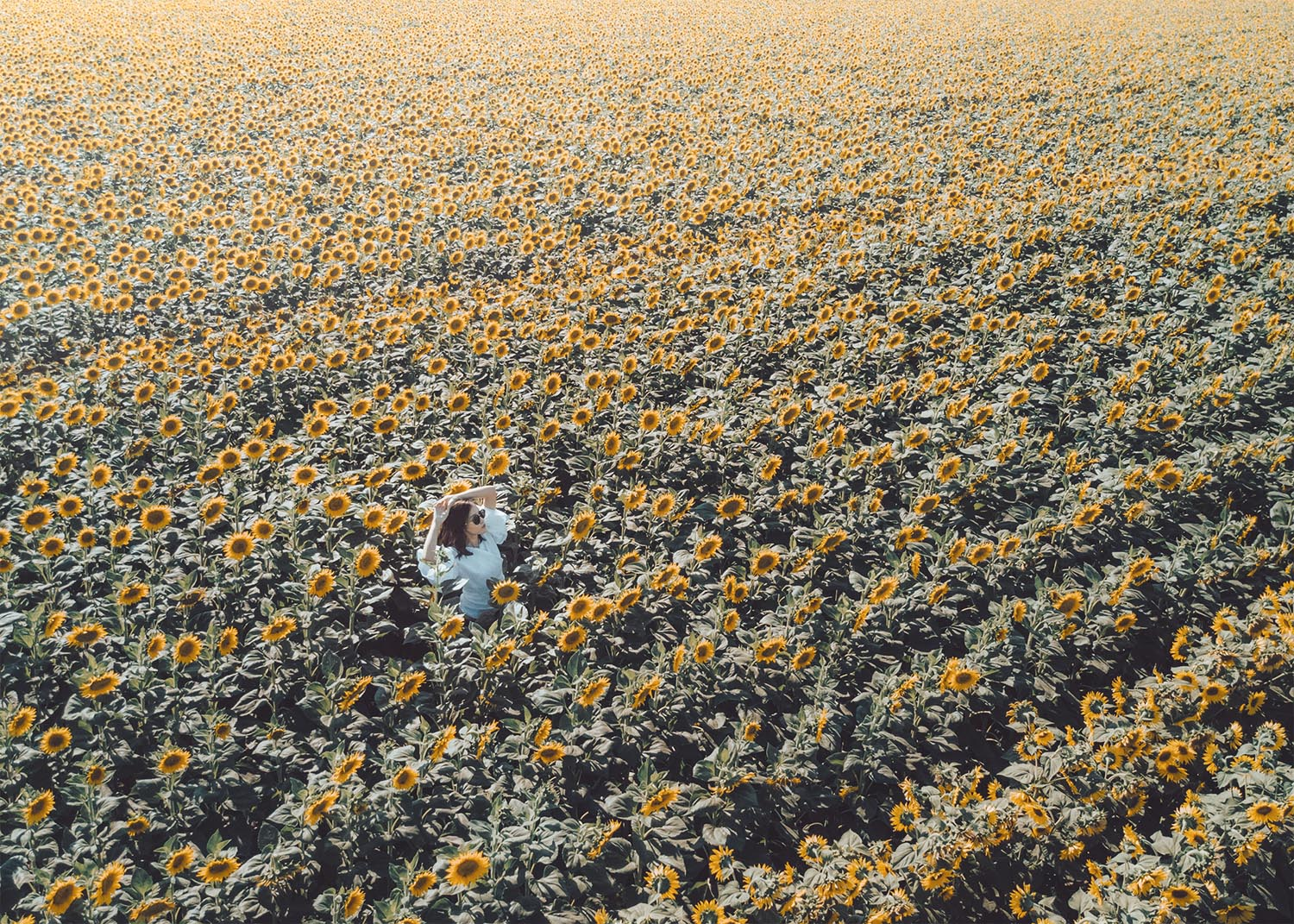 Fashion photography Drone shot sunflower field Street style fashion blogger influencer Jenny Tsang of Tsangtastic wearing white gathered ruffle puffed sleeve top denim shorts o-ring small leather bag simon miller bag in sunflower field in Davis California